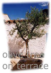 44/olivetree.jpg